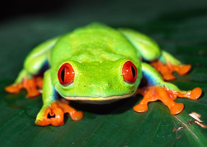Red Eyed Tree Frog Facts For Kids | Red Eyed Tree Frog ...