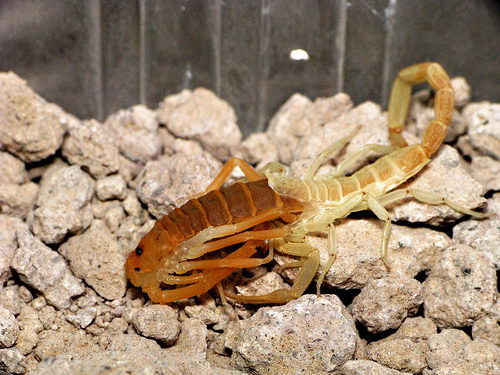 scorpion facts for kids - scorpion pictures