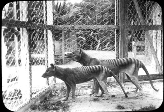 tasmanian tiger facts