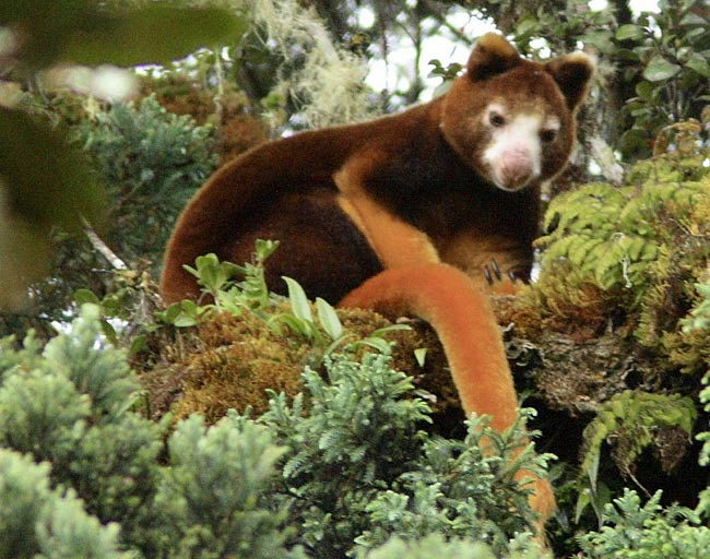 Tree Kangaroo Facts | Tree Kangaroo Habitat