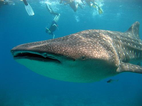 whale shark pictures in sea