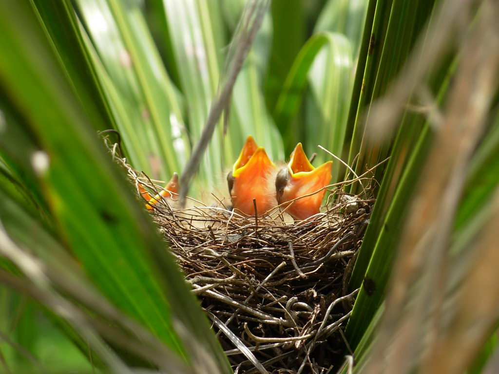 two baby birds in nest - what to feed baby birds | baby bird pictures