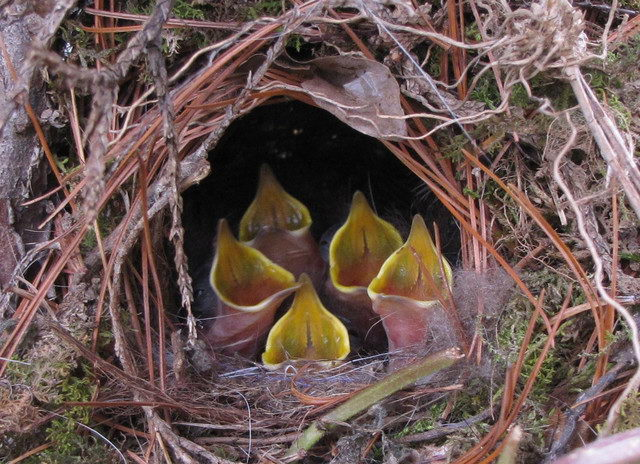 Little bird babies in nest - what to feed a baby bird