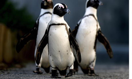 african penguin facts
