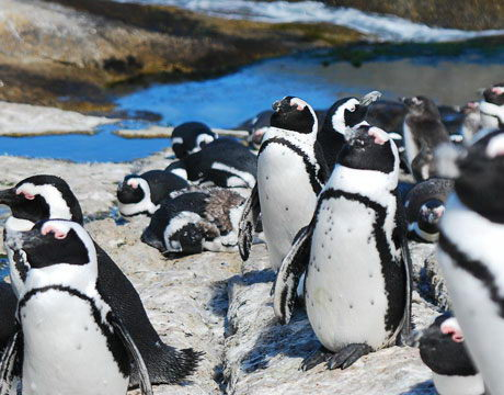 african penguin pictures