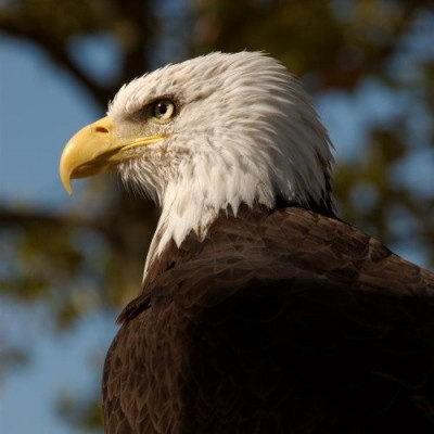 bald eagle facts for kids   bald eagle pictures