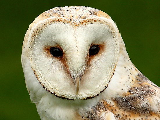 Barn Owl Facts For Kid...