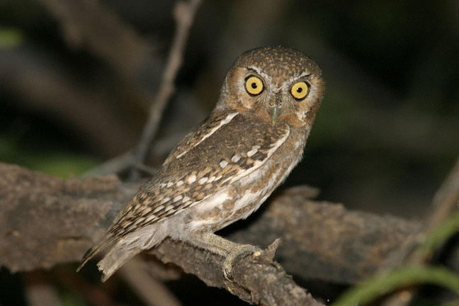 elf owl pictures