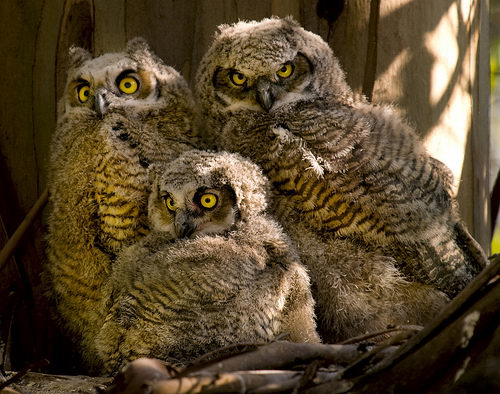 great horned owl facts   great horned owl pictures