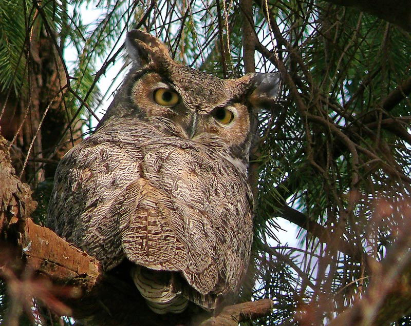 great horned owl facts | great horned owl pictures