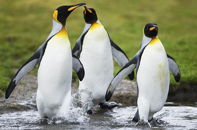 pictures of king penguins