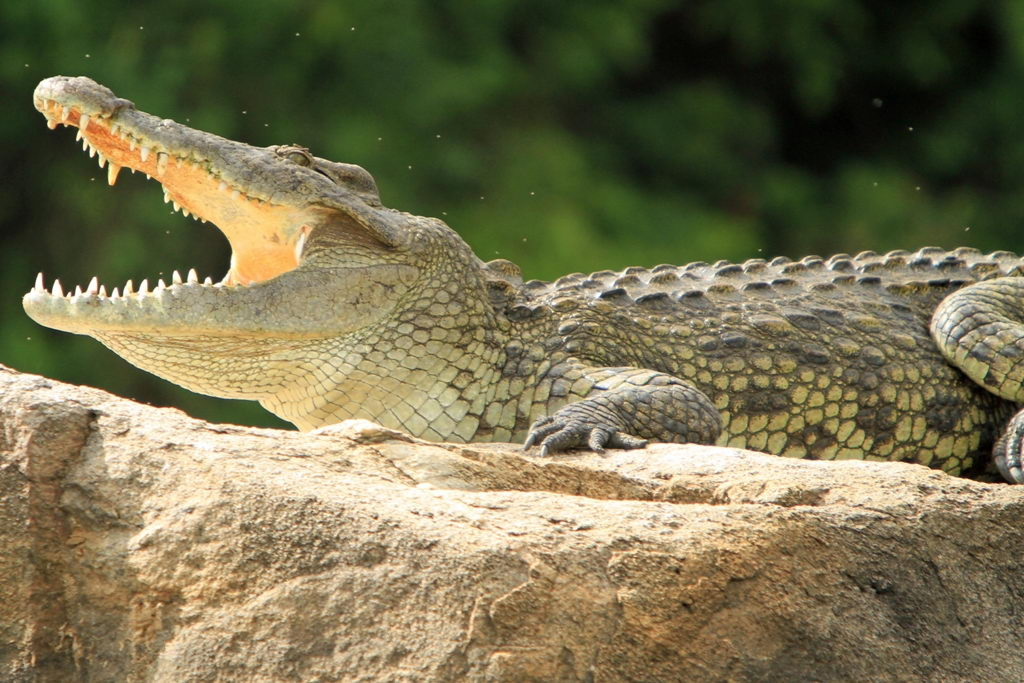 nile crocodile pictures
