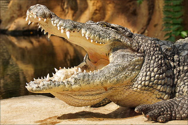 nile crocodile facts
