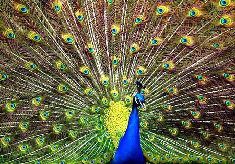 Peacock Facts for Kids
