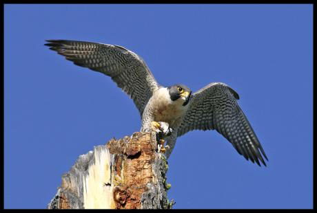 peregrine falcon facts for kids