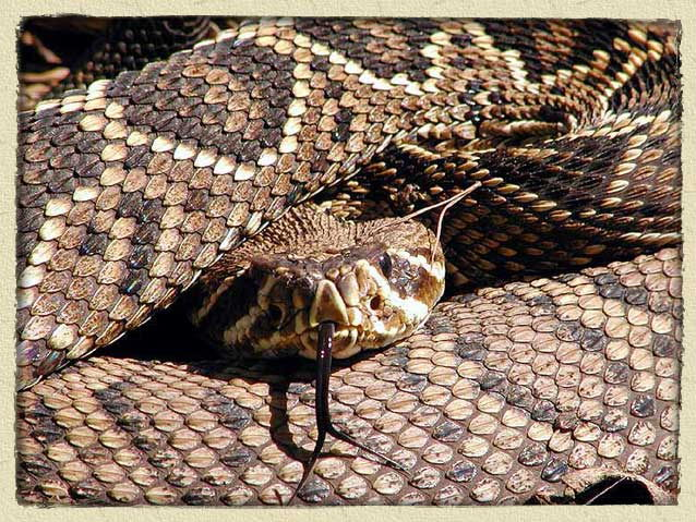 rattlesnake facts for kids - pictures