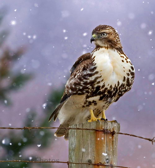 red tailed hawk pictures