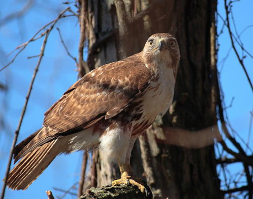 red tailed hawk roosting