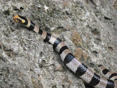 sea snake facts   sea snake picture