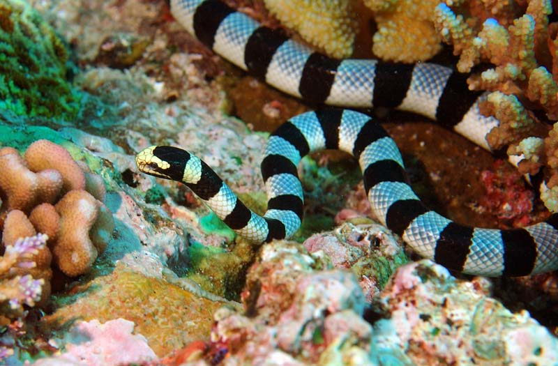 sea snake facts   sea snake pictures