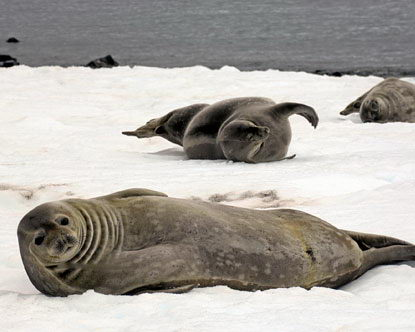 seal facts for kids - seals in snow picture