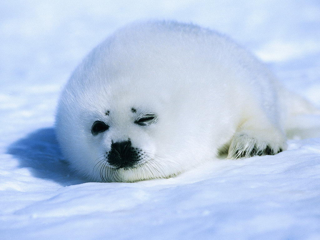 Seal Facts For Kids Seal Diet Habitat