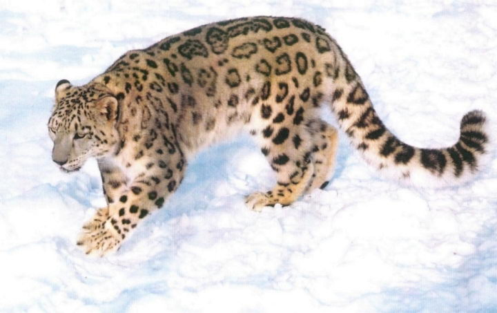 Endangered Snow Leopard Facts For Kids