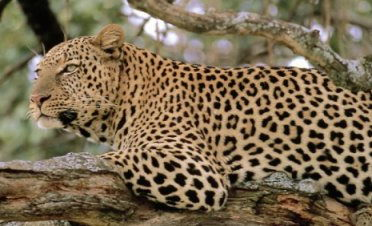 Leopard - Facts about endangered animals