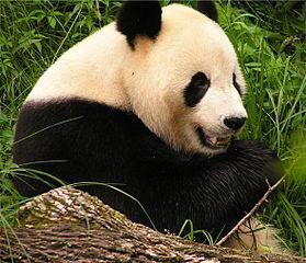 Panda - Facts about endangered animals