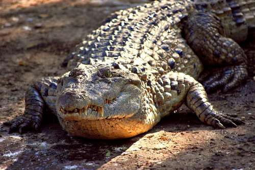 Philippine Freshwater Crocodile - (Crocodylus mindorensis) - Mindoro crocodile - Endangered Animals in the Philippines