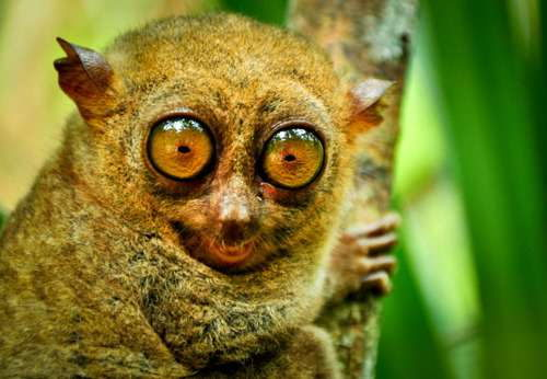 Philippine Tarsier - Endangered Animals in the Philippines