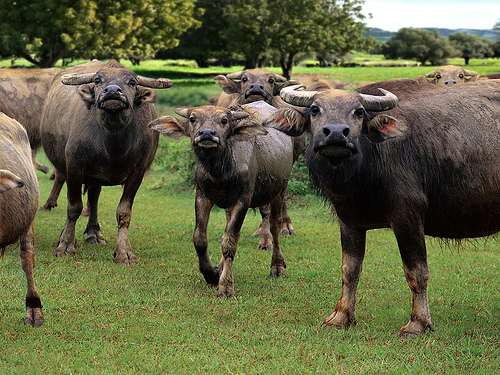 Tamaraw Endangered Animals in the Philippines