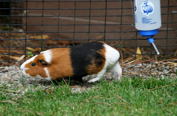 What Can Guinea Pigs Eat | guinea pig