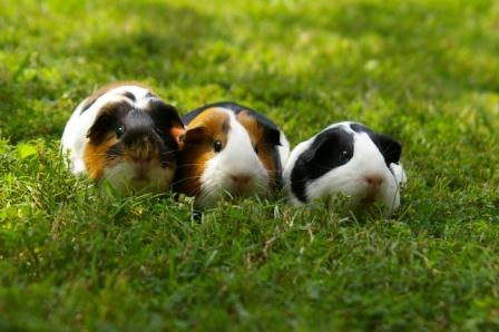 what can guinea pigs eat   guinea pigs