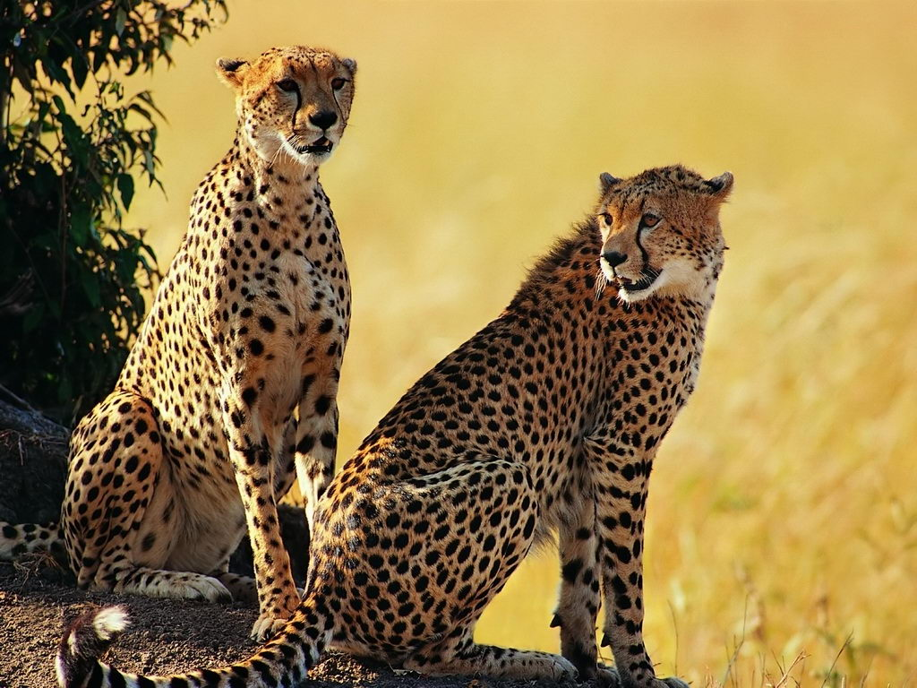 African Animals For Kids Pair Of Cheetah