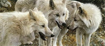 arctic wolf facts for kids