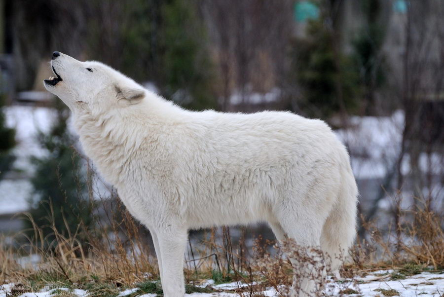 arctic wolf facts - Arctic Wolf Howling