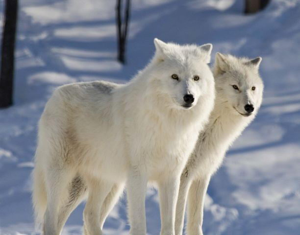 pair of arctic wolf