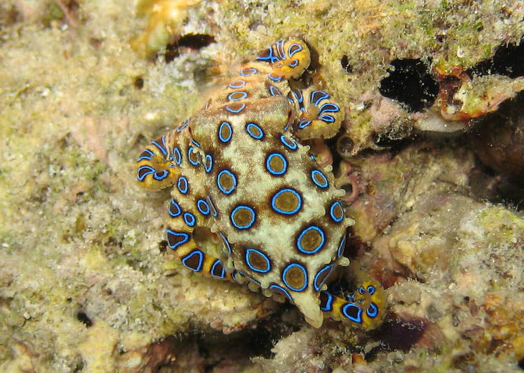 blue ringed octopus facts | blue ringed octopus