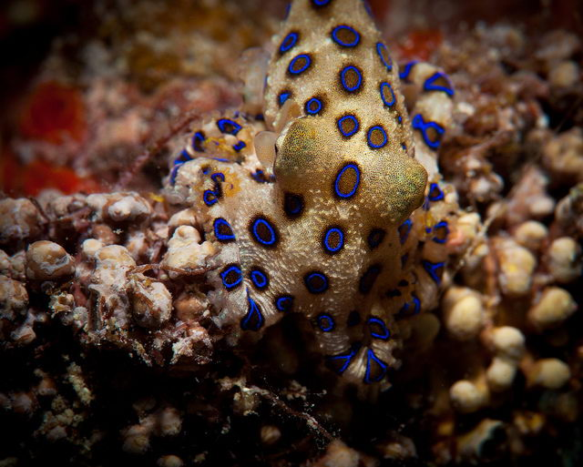 blue ringed octopus facts