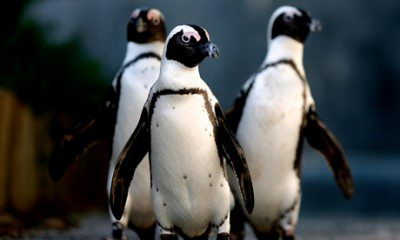 cute endangered animals | african penguin