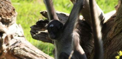 cute endangered animals | brown spider monkey