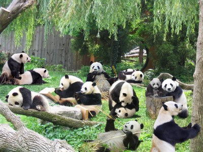 cute endangered animals | giant panda