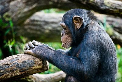 cute endangered animals | chimpanzee