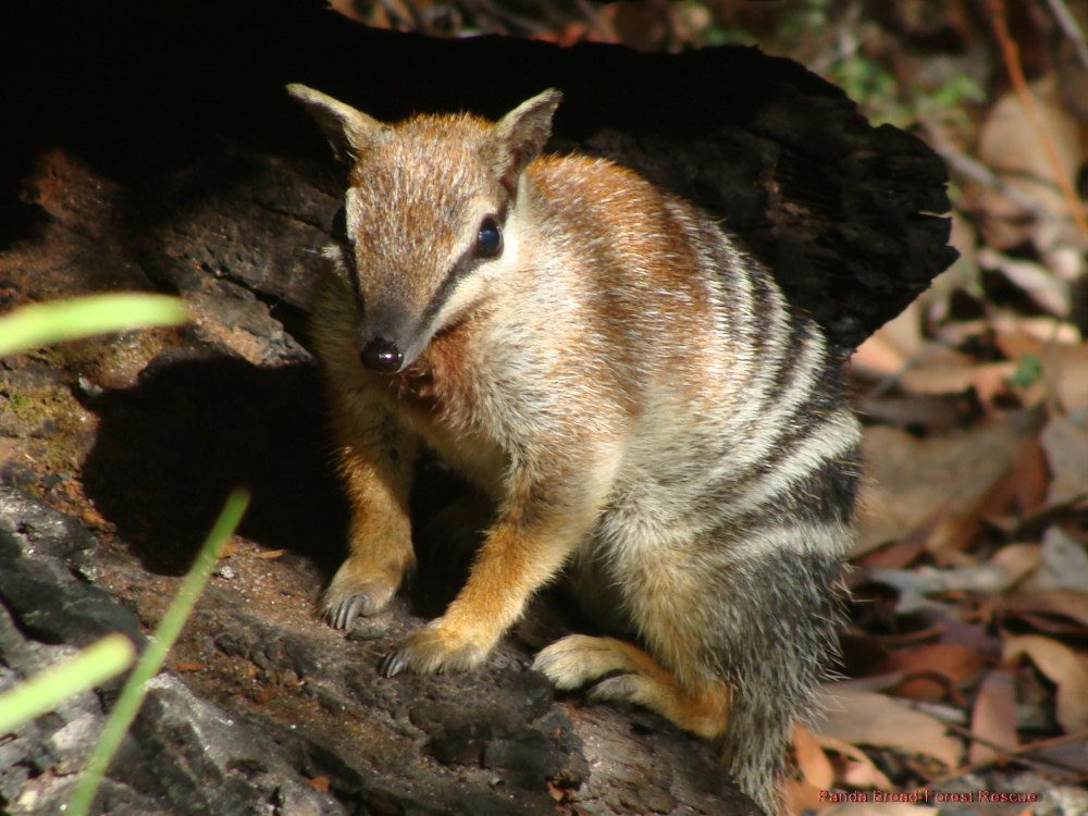 criticaly endangered animals in australia - Numbat
