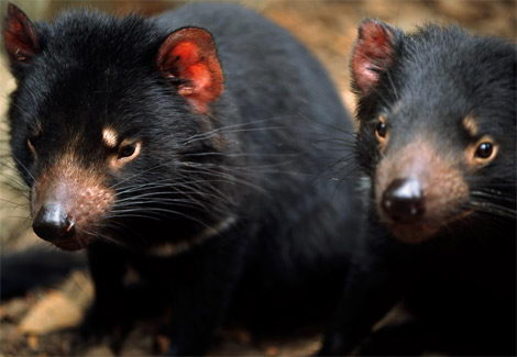 critically endangered animals in australia - Tasmanian Devil