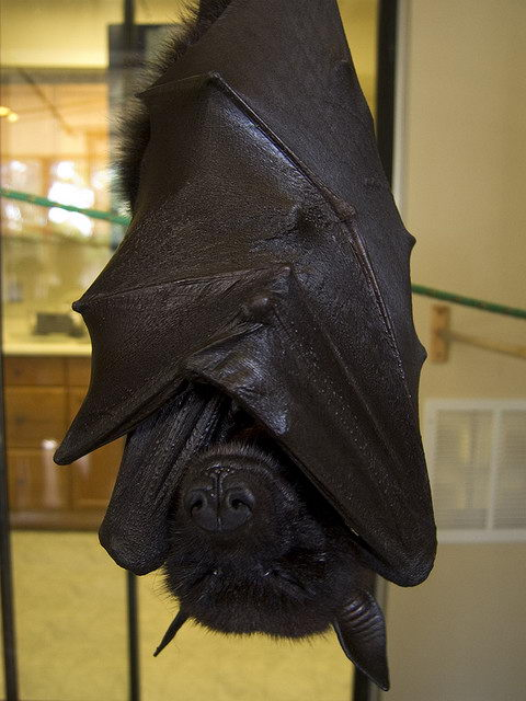 critically endangered animals in australia - Bulmer's Fruit Bat