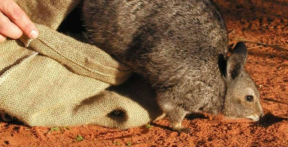 critically endangered animals in australia - Banded Hare Wallaby<