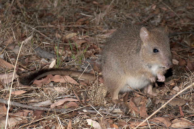 critically endangered animals in australia - Woylie
