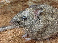 critically endangered animals in australia - Central Rock Rat